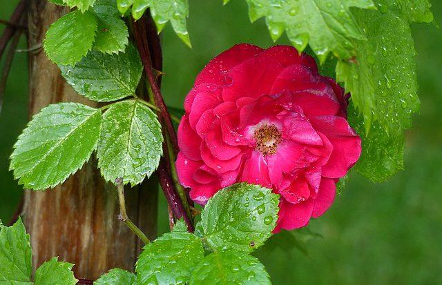 zoom sur les rosiers grimpants jardinage blog conseils. Black Bedroom Furniture Sets. Home Design Ideas