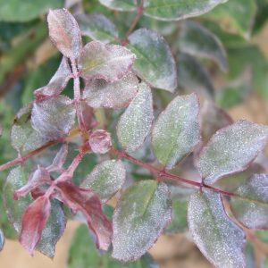 rosier-oidium-maladie
