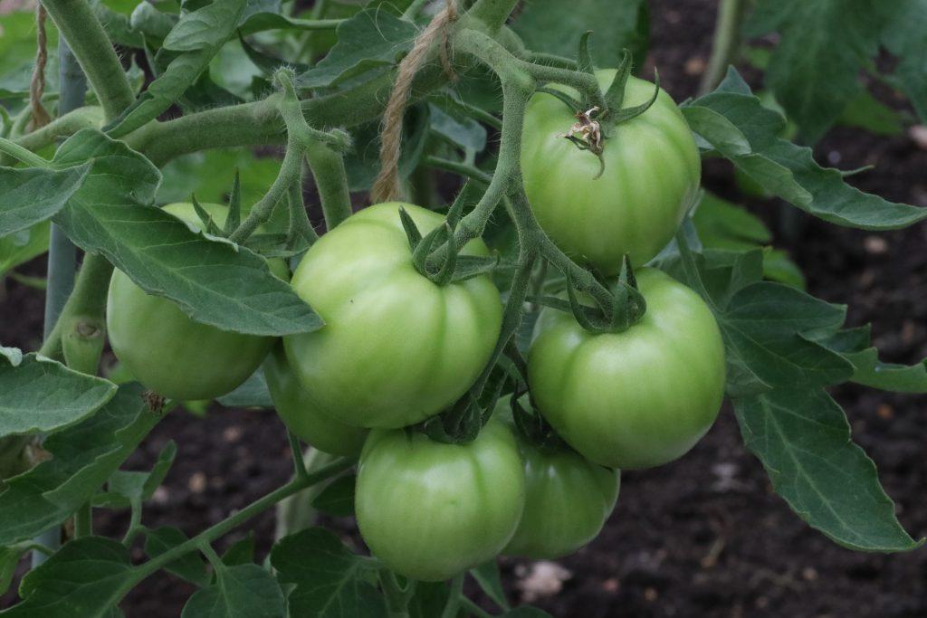 tomates verte dans un potager
