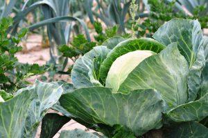 Un potager de légumes